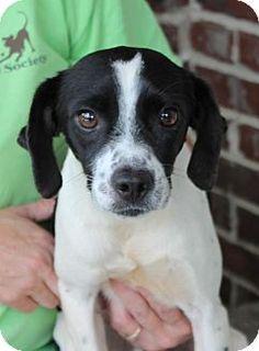 Prattville, AL - Beagle Mix. Meet Tin Tin 25470, a dog for adoption…