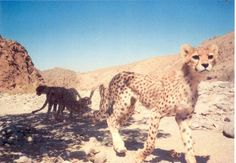 Arabian Cheetah -  Critically endangered subspecies of the cheetah found today only in Iran, with some occasional sightings in Balochistan, Pakistan. As of 2013, only 20 cheetahs were identified in Iran but some areas remained to be surveyed; the total population may be 50 to 100. (from Wikipedia)