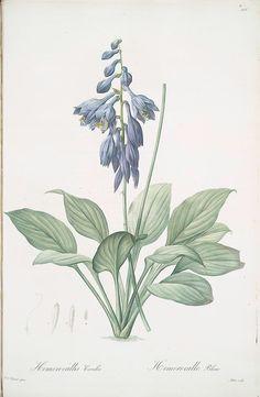 Hemerocallis Caerulea  [Hosta caerulea ; Hémérocalle bleue [Dark blue Plantain Lily]]Creator: Redouté, Pierre Joseph, 1759-1840 -- Artist  Medium: Stipple engravings