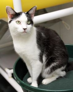 Patches/Domestic Short Hair-black and white • Young • Male • Medium Animal Alliance Lambertville, NJ