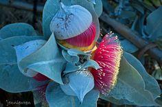 budding eucalyptus flower