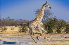 """""""Run to Safety"""" by John Chaney: """"As several species of animals relax at a watering hole, a lion emerges and disrupts the peace and tranquility of the moment, as the roar of their hooves make haste to escape the impending wrath of the lion. With all hooves in the air the giraffe is en-route behind the impala."""""""