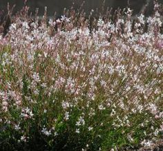 Fleuroselect Award Winning Flowers for 2014: Gaura 'Sparkle White'