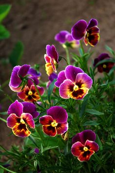 Pansies by Denis Chavkin - Chronicles of a Love Affair with Nature | via Tumblr