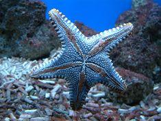 Blue Starfish #starfish