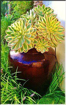 Sunburst Aeonium - succulent