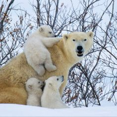Polar bears emerge from hibernation and spring into action: by Steve Bloom, courtesy of the Daily Telegraph