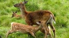 Eläinten esiinmarssi Forest Animals, Nature Animals, Biology For Kids, Hunting Clothes, Science And Nature, Finland, Kangaroo, Tieto, Historia