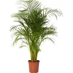 Lättskött och populär palm med vackra blad. Bra luftfuktare och luftrenare. Trivs i ljusa till halvskuggiga lägen, utan direkt sol. Vattnas när jorden fortfarande är fuktig. ...