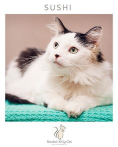 Sushi is an adoptable Domestic Medium Hair-black and white searching for a…