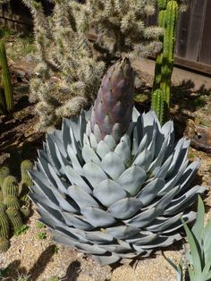 Agave Parryi Truncata starting to bloom. Geffray's Gardens