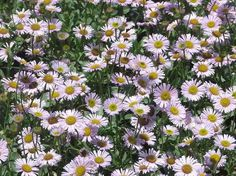Erigeron Wayne Roderick Daisy planted as a small groundcover or border. With a little water has worked well everywhere in California we've t...