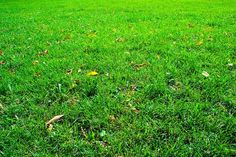 Græsplæne efterår   Forny din græsplæne med efterårssåning