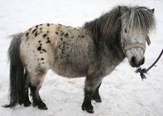 Výsledek obrázku pro Mini koně