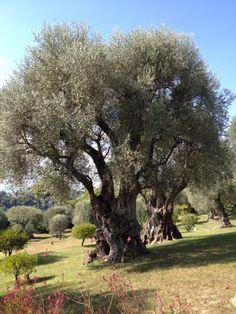 Olivenbaum in #Renoirs Garten in #Cagnes-sur-Mer