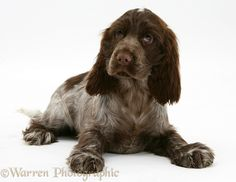 Dog: Chocolate Cocker Spaniel pup photo