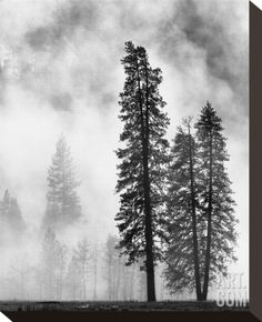 Yosemite Misty Pines Black and White Stretched Canvas Print by Danny Burk at Art.com