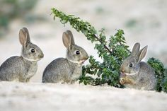 Did inability to change hunting strategies, from large animal to rabbits the key to Neanderthal decline? Large Animals, Cute Animals, Creature Picture, Rabbit Pictures, Wild Rabbit, License Plate Covers, Rabbit Hutches, Cute Bunny, Bunny Bunny