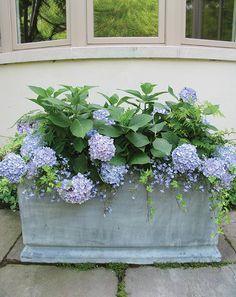 Ever blooming hydrangeas, ivy, ferns lobilia....garden container.