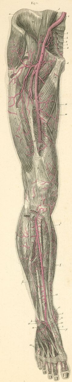 Arteries of the anterior surface of the thigh, leg, and the foot.