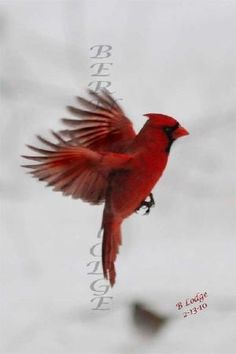 getting a cardinal tattoo on my rib cage by lauren
