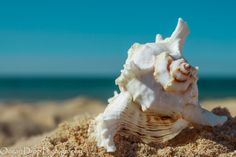 Beach Photography  Blue yellow shell by OceanDropPhotography, $30.00