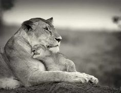 Lioness and her cub. The facial expressions here remind me of a human mother & baby. The serene, yet somewhat exhausted look of a fierce mother who knows it's a tough job, but she's doing it right. The innocent, pure love of a young child, oblivious to mommy's daily strength, just wanting her love & content in her arms.