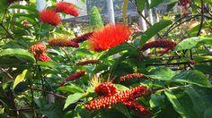 Combretum comosum By Nongnooch Pattaya Tropical Botanical Garden.