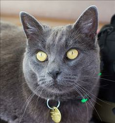 Russian Blue Mix. Woods Humane Society San Luis Obispo, CA. Mika <3 larger than life personality - this girl just wants to have fun! Confident, independent & fun to watch! She'd love to have a special someone who'd like to engage her w/ a wand toy or other activity. Definitely a comical little clown, as well as very intelligent & tenacious - she will relentlessly keep working at solving a problem or getting to an elusive toy. Sweet & affectionate, she'd love someone to cuddle w/! 14.18 lbs…