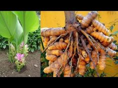 Turmeric Plant, Growing Herbs, Horticulture, Carrots, Vegetables, Garden, Plants, Youtube, Hydrangea Colors