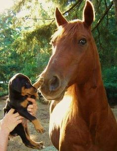Doberman puppy with horse