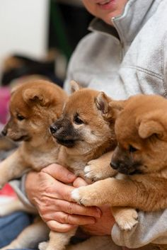 Arms full of shibas