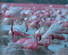 flamingos nesting; rather than standing endlessly on one leg - not often you see that