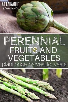 Plants that come back every year are called perennial plants. They live for at least two seasons, and sometimes much, much longer. Perennial vegetables and fruits are productive plants that come back every year. Talk about a time saver in the #garden! (You can thank me later.) #homestead #growingfood via @Attainable Sustainable