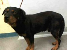 9/17 HELP! Manhattan Center TONY – A1090086 ***DOH HOLD 09/16/16*** MALE, BLACK / LIVER, ROTTWEILER, 7 yrs OWNER SUR – ONHOLDHERE, HOLD FOR DOH-B Reason BITEANIMAL Intake condition UNSPECIFIE Intake Date 09/16/2016, From NY 10473, DueOut Date ,