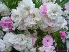 Detail ružičky