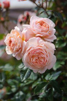 A Shropshire Lad - David Austin English Rose