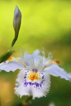 シャガ Iris Japonica on Flickr.