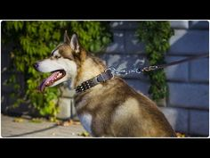 """Siberian Husky looks marvellous in """"Deluxe Style"""" Leather Dog Collar with Decoration Leather Dog Collars, Leather Design, Bffs, Husky, Decoration, Animals, Style, Decor, Swag"""