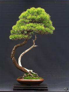 Wlodzimierz Pietraszko Pine bonsai