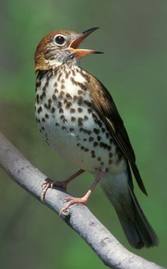 """""""Wood thrushes were my best informants. Neighboring pairs sing to each other in a chain of call-and-response that occurs in every wood in the Midwest. If one pair fell silent I could place the intruder within fifty or sixty feet of a nest tree. Different Birds, Kinds Of Birds, Love Birds, Beautiful Birds, Song Thrush, Photo Animaliere, Backyard Birds, Little Birds, Small Birds"""