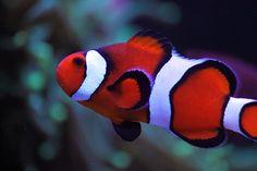 Ocellaris Clownfish Marine Aquarium Fish, Marine Fish, Reef Aquarium, Saltwater Aquarium, Underwater Pictures, Underwater Life, Mandarin Fish, Salt Water Fish, Deep Blue Sea