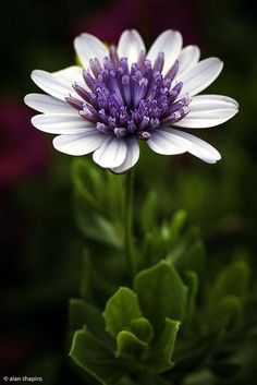 African Daisy - by Alan