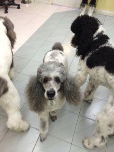Party poodles