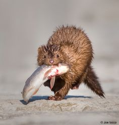 Mink with a fish.