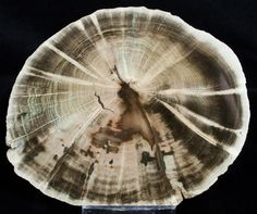 Petrified wood of a Primitive Conifer (Woodworthia) from Zimbabwe. It's nearly 250 million years old.