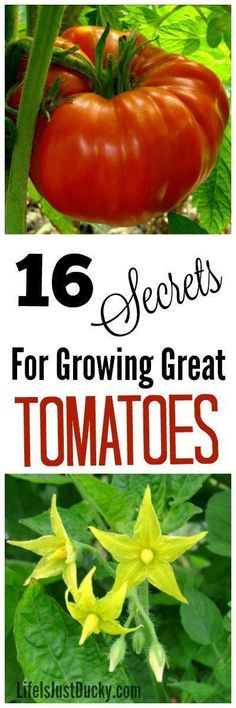 Whether On Your Farm, Homestead Or Just Your Backyard Garden, Everyone Wants To Grow Tomatoes Like A Pro. Here Are 16 Secrets For Growing Great Organic Tomatoes. Diy Tips For The Begining Gardener Or The Expert. Grow Your Garden Knowledge And Reduce Mis Growing Tomatoes In Containers, Growing Vegetables, Growing Plants, Grow Tomatoes, Garden Tomatoes, Greenhouse Tomatoes, Greenhouse Plants, Backyard Plants, Veg Garden