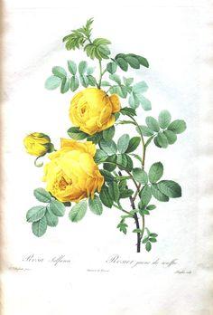 Botanical - Flower - Les Roses 4