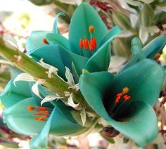 Turquoise Puya berteroniana I've got seeds, I am impressed with its colour! Unusual Flowers, Unusual Plants, Amazing Flowers, My Flower, Flower Power, Beautiful Flowers, Beautiful Gorgeous, Dame Nature, Dream Garden