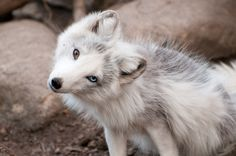 A white fox with one brown eye and one blue eye.